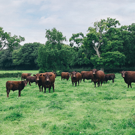 Sussex Beef Cattle